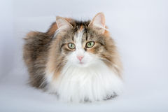 Long Hair tortoiseshell cat Royalty Free Stock Photography