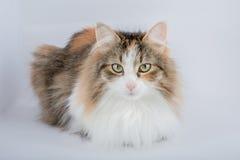 Long Hair tortoiseshell cat Stock Photos