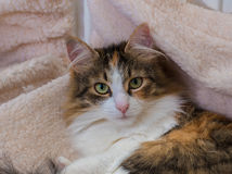Long Hair tortoiseshell cat Stock Photography