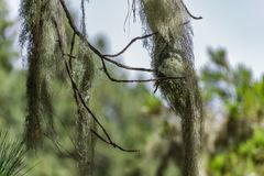 Long hair of Usnea barbata lichen hanging from old dry branches of canarian pine tree. Close up, Blurred background. Selective stock photo