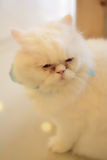 Long hair white cat. In the warm room royalty free stock photo