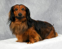 Long haired. Red and brown long haired wiener dog royalty free stock photo