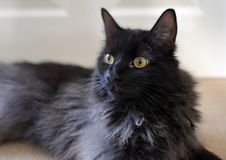 LONG HAIRED BLACK CAT. MAINECOON FLUFFY BLACK SMOKE CAT PORTRAIT Stock Images