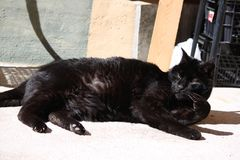 Black cat. Long-haired black cat relaxed in the sun royalty free stock image
