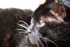 Black cat. Long-haired black cat relaxed in the sun stock photography