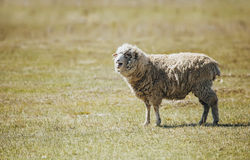 Long-haired bleating sheep in a field Stock Photo