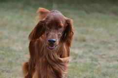 Long Haired Brown Dachshund Dog. Beautiful long haired dachshund puppy dog Stock Images