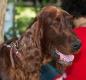 Long-haired brown dog stock photo