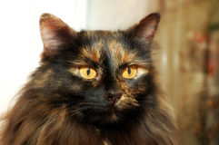 Long Haired Cat royalty free stock photos