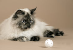 Long haired cat with ball isolated Stock Image