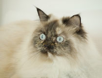 Long haired cat with blue eyes Royalty Free Stock Photography