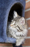 Long haired cat in the garden, foreground of brown tabby version. Siberian little cat, brown tabby version at two months Royalty Free Stock Photos