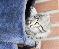 Long haired cat in the garden, foreground of brown tabby version. Siberian little cat, brown tabby version at two months Stock Images