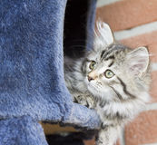 Long haired cat in the garden, foreground of brown tabby version. Siberian little cat, brown tabby version at two months Royalty Free Stock Photography
