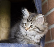 Long haired cat in the garden, foreground of brown tabby version. Siberian little cat, brown tabby version at two months Royalty Free Stock Photo