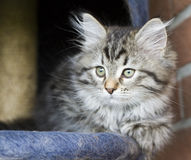 Long haired cat in the garden, foreground of brown tabby version. Siberian little cat, brown tabby version at two months Stock Photo