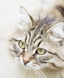 Long haired cat in the garden, foreground of brown tabby version. Siberian cat, brown tabby version outdoor Stock Photo