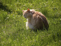 Long haired cat in grass. With wind in its fur Royalty Free Stock Images