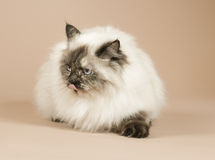 Long haired cat isolated Royalty Free Stock Photos