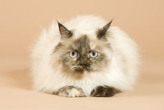 Long haired cat isolated from front Stock Photos