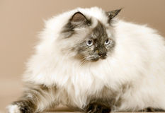 Long haired cat isolated from the side Royalty Free Stock Photos