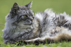 Long-haired cat laying on grass. Long-haired semi-feral cat lays on the garden lawn Royalty Free Stock Photo