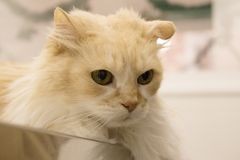 Tabby cat at the veterinarian office. Long haired cat on the table of the veterinary clinic royalty free stock photo