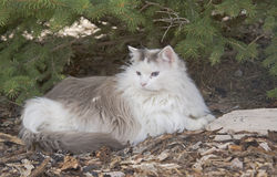 Long haired cat under evergreen tree Royalty Free Stock Photography