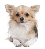 Long haired chihuahua (1 year old). In front of a white background stock images