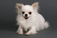 Long haired chihuahua. Sitting in front of gray background royalty free stock images