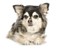Long haired Chihuahua (11 years) Royalty Free Stock Photo