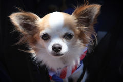 Long-haired chihuahua. Portrait of a beautiful white-faced, long-haired chihuahua royalty free stock images