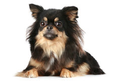 Long-haired Chihuahua. Lies on a white background stock photography