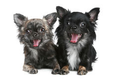 Long-haired chihuahua. Dog on a white background stock photos