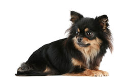 Long-haired Chihuahua. Lies on a white background stock images