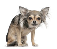 Long haired chihuahua (2 years old). Long haired chihuahua looking at the camera (2 years old) in front of a white background royalty free stock images
