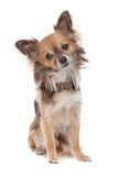 Long haired chihuahua. Dog in front of a white background royalty free stock photo