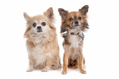Long haired chihuahua. Dog in front of a white background stock image
