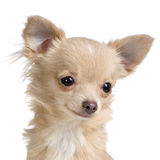 Long haired chihuahua. Close-up on a long haired chihuahua in front of white background stock photos