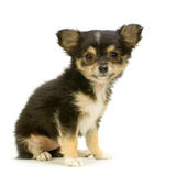 Long haired chihuahua. Puppy sitting in front of white background stock photos