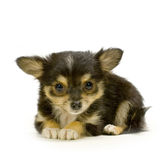 Long haired chihuahua. Puppy lying in front of white background stock image