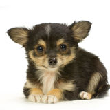 Long haired chihuahua Royalty Free Stock Photos
