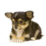 Long haired chihuahua. Puppy lying in front of white background stock photo