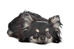 Long haired chihuahua. In front of a white background royalty free stock images