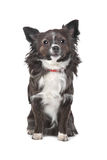 Long haired chihuahua. In front of a white background stock images