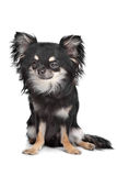 Long haired chihuahua. In front of a white background royalty free stock image