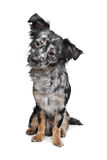 Long haired chihuahua Royalty Free Stock Photography