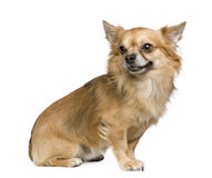 Long haired chihuahua (3 years). In front of a white background royalty free stock photography