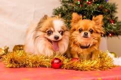 Long Haired Chihuahua at Christmas Stock Photos