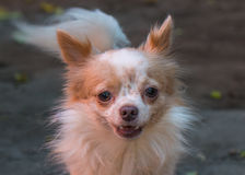 Long haired chihuahua. Close up of long haired chihuahua royalty free stock photo